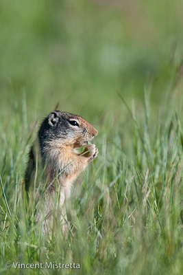 Columbian Ground Squirrel, Glacier National Park