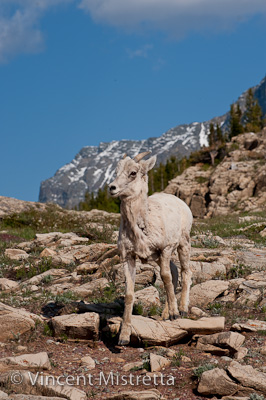 Rocky Mountain Big Horn Sheep, Many Glacier, Montana