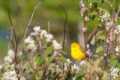 Yellow Warbler Sunrise