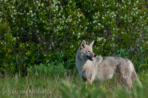 Coyote, Glacier National Park