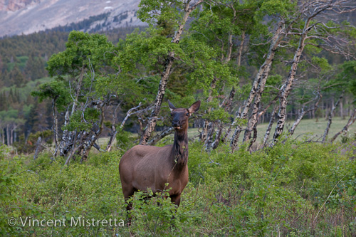 Elk in Glacier National Park