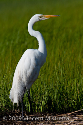 Great Egret on the lookout for food