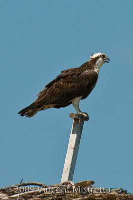 Osprey standing guard over nest in Hampton Bays