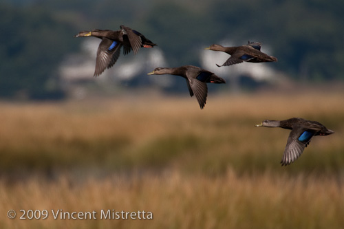 American Black Ducks flying over Milford Point