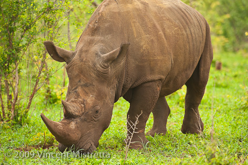 White Rhinoceros Grazing