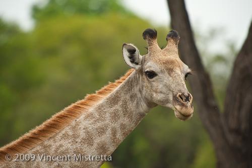 Southern Giraffe in Zambia