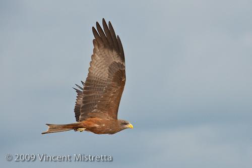 Yellow Billed Kite in Flight, Chitabe, Botswana