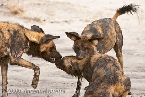 African Wild Dog with Injured Leg, Chitabe, Botswana