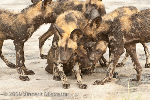 African Wild Dog pups at play, Chitabe, Botswana