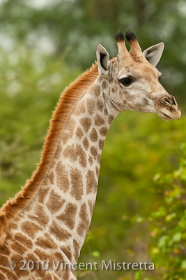 Southern Giraffe, South Africa Royalty Free Stock Photos - Image ...
