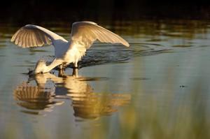 Snowy Egret Swoop