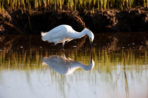 Symmetrical Snowy Egret