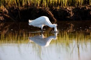 Snowy Egret Plunge