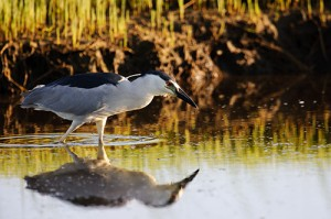Black Crowned Night Heron Hunting Reflection