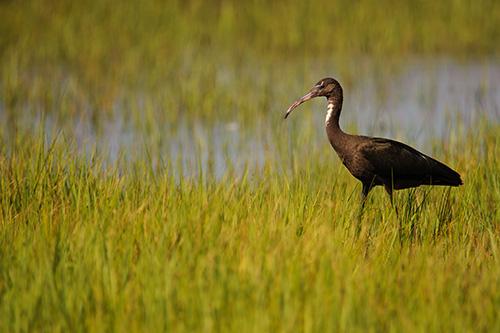 Glossy Ibis Portrait