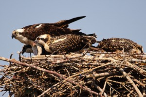 Osprey Chick with Mouthful of Fish