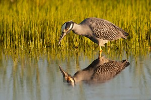 Yellow Crowned Night Heron Eyeing Breakfast