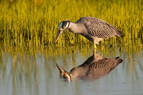 Yellow Crowned Night Heron Eyeing Breakfast
