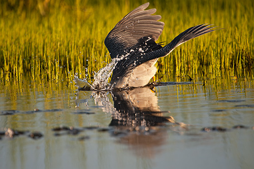 Yellow Crowned Night Heron Plunge