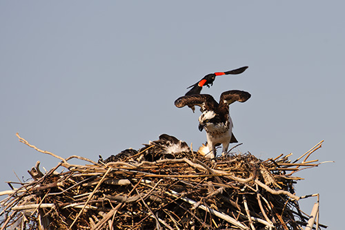 Red Winged Blackbird Sneaks up on Momma Osprey