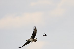 Red Winged Blackbird in Pursuit of Osprey