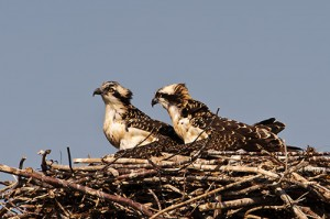 Osprey Chicks Waiting for Mother to Return