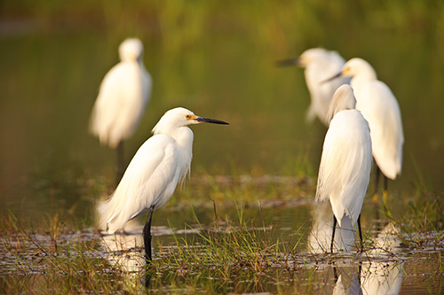 Snowy Egret Party