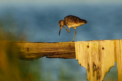 Willet Itch
