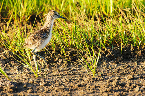 Willet Chick