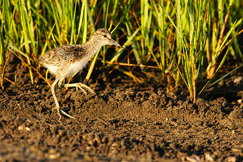 Willet Chick on the move
