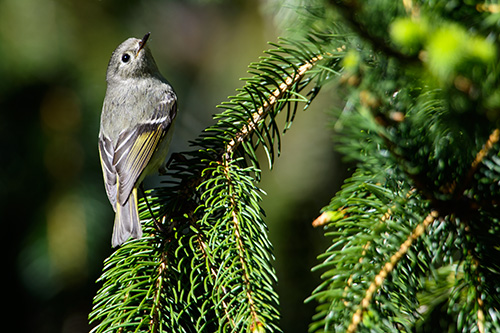 "Ruby Crowned Kinglet ""Over the Shoulder"""