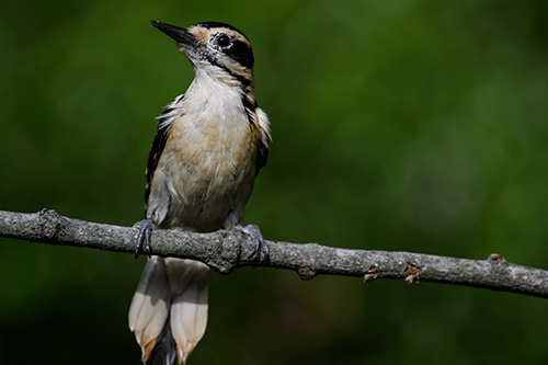 Hairy Woodpecker on the lookout