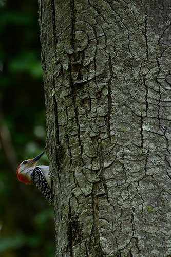 Red Bellied Woodpecker Peek-A-Boo