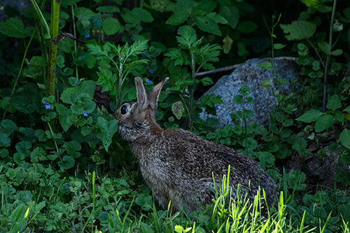Eastern Cottontail