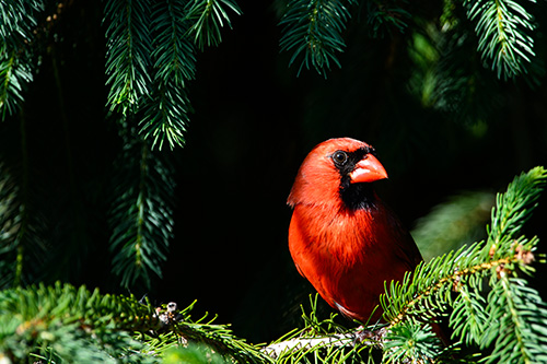 Northern Cardinal Male Hiding in Spruce Tree