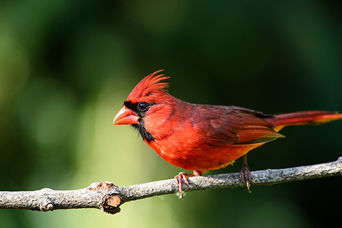 Northern Cardinal Male on Perch