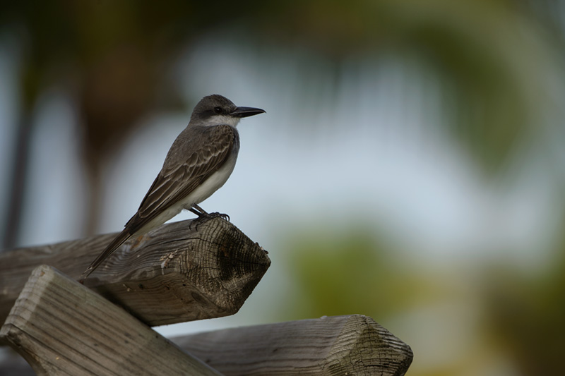 Gray Kingbird on Fence