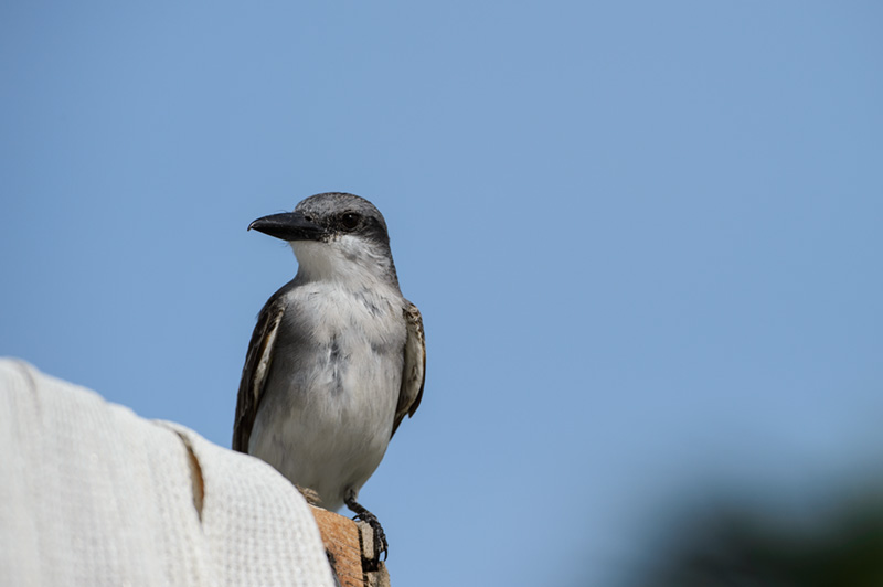 Gray Kingbird Pose