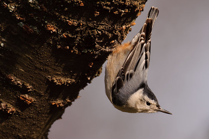 white breasted nuthatch, tree, photograph, image photography, photo