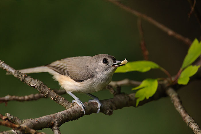 tufted titmouse, seed, new canaan, connecticut, photo