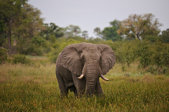 african elephant, okavango delta, botswana, image, photograph, vincent mistretta photography, photo