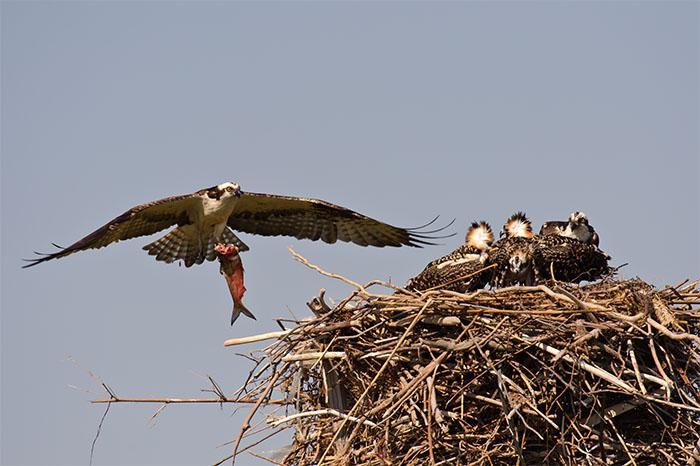 osprey, chicks, fish, nest, photograph, photography, birds, wildlife, photo