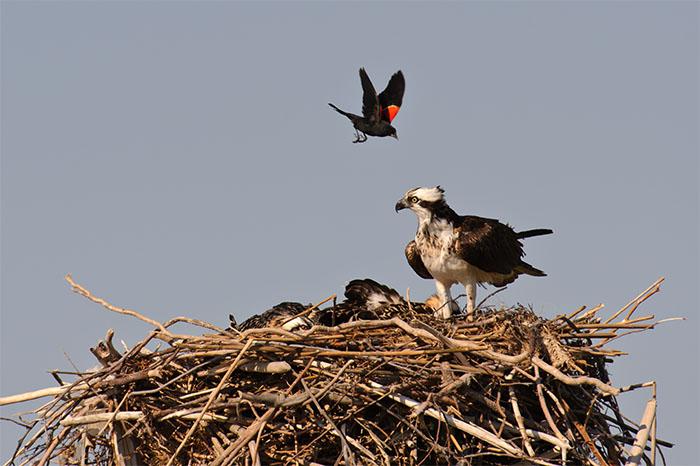 red winged blackbird, osprey, westhampton, new york, nest, chicks, photo