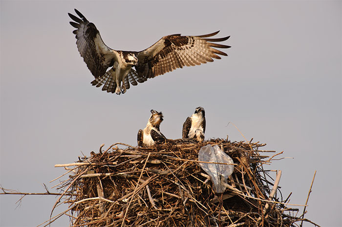osprey, nest, chicks, westhampton beach, new york, image, photograph, phtography, photo