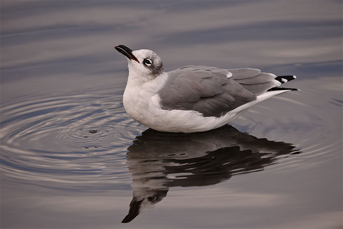 laughing gull, cove island park, stamford, connecticut, image, photograph, phtography, photo