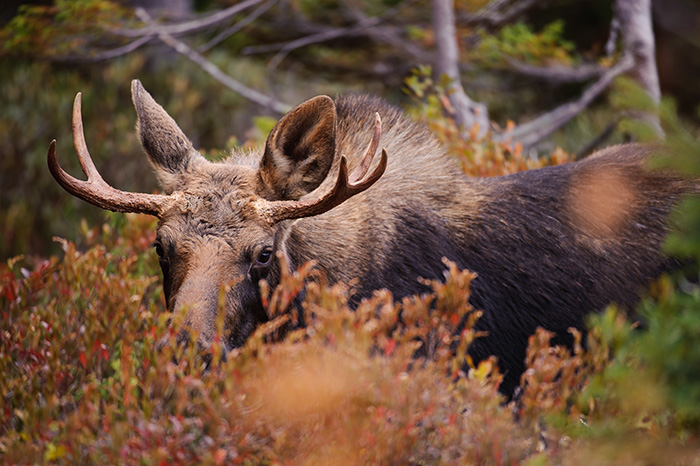moose, bull, baxter state park, millinocket, maine, photograph, image, photo